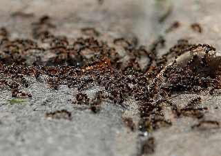 Ants-Infestation-Nest-Pest-Control-Bournemouth