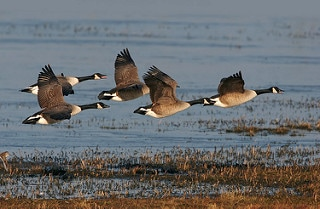 Bird-Control-Canadian-Geese-Poole