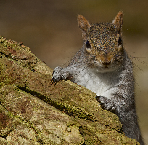 Grey-Squirrels-Pests-Bournemouth